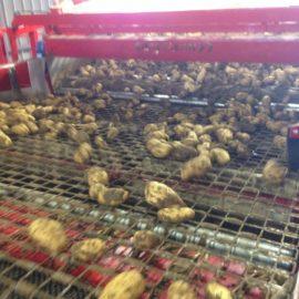 High Quality Potato Processing for Bayard Distribution