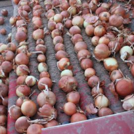 Onion Sizing, Handling and Processing