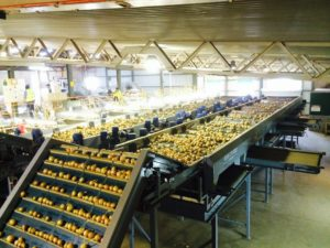Field Fresh Onion Conveyor & Onion Grading Line | Tong Engineering